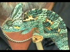 Exotic Pets – Chameleon