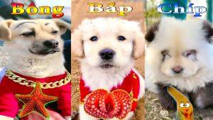 Thú Cưng TV   Dương KC Pets   Bông Bé Bỏng Bắp Chíp Ham Ăn #35   chó vui nhộn   funny cute